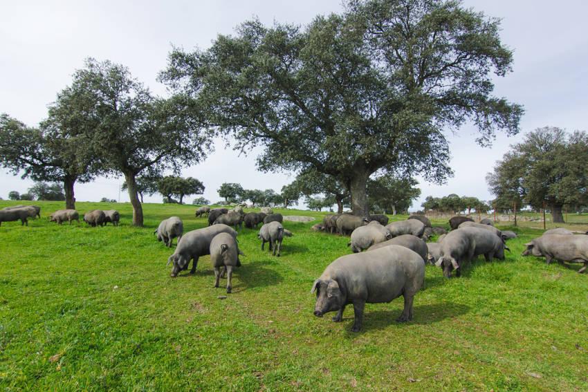 Un estudio internacional avala los beneficios del consumo de carne de cerdo