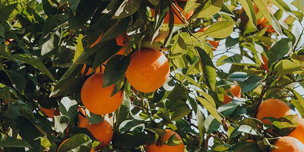 Preguntas curiosas sobre las naranjas